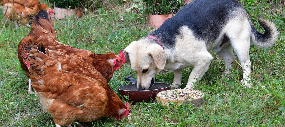 cohabiter chien poule 1200x533 - Chien et poule, une cohabitation possible?