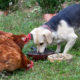cohabiter chien poule 80x80 - Intégrer une nouvelle poule dans le poulailler