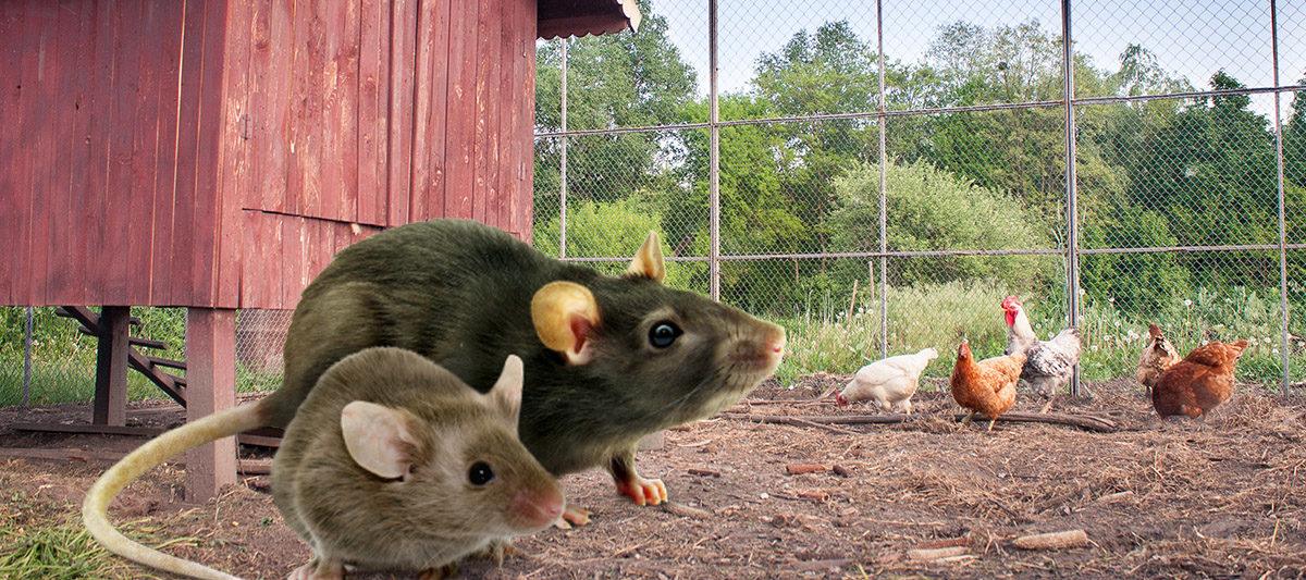 rat souris poulailler 1200x533 - Rats et souris : éloigner les rongeurs du poulailler