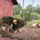 rat souris poulailler 80x80 - Chien et poule, une cohabitation possible?