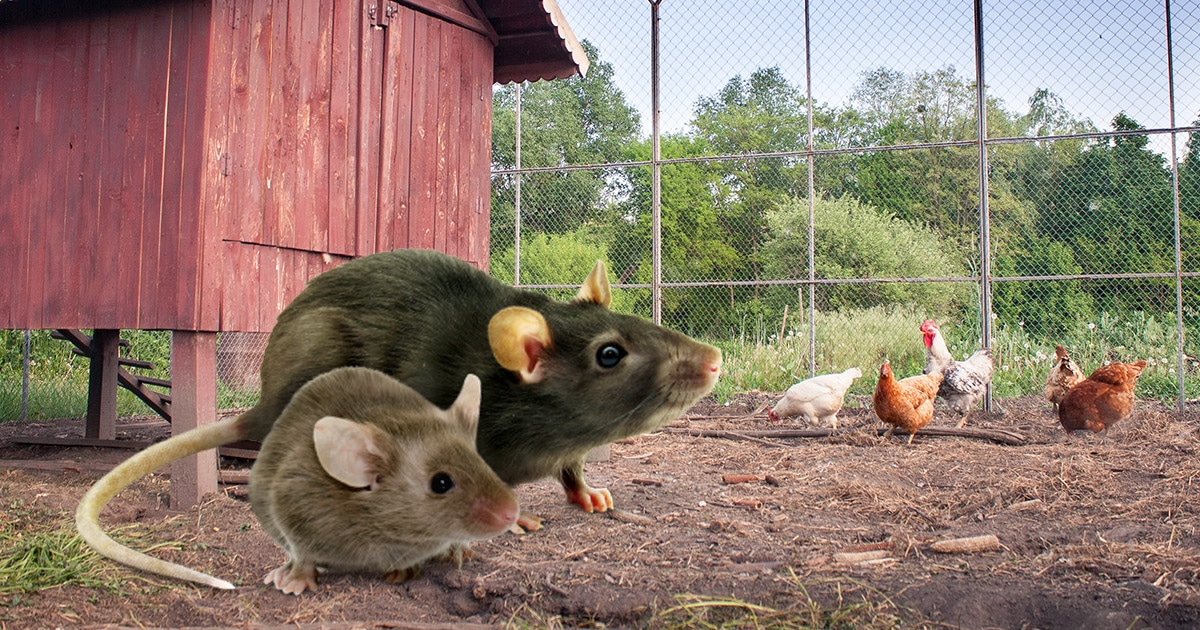 rat souris poulailler - Poulailler en ville : des poules en milieu urbain ?