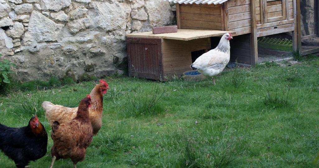 3 contre 1 1024x538 - Intégrer une nouvelle poule dans le poulailler