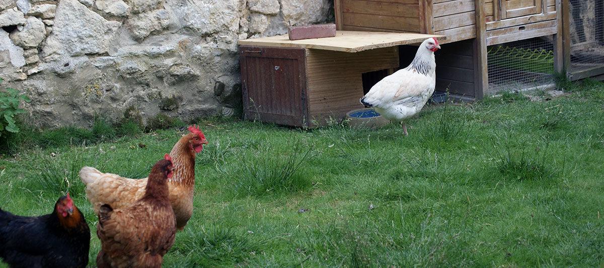 3 contre 1 1200x533 - Intégrer une nouvelle poule dans le poulailler