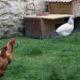3 contre 1 80x80 - Mes poules dorment dehors