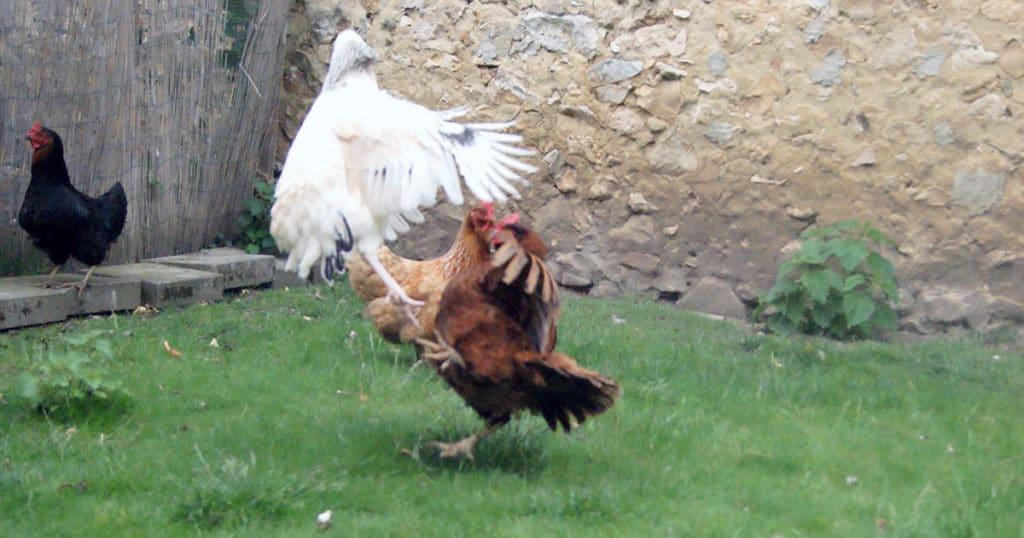 combat poule 1024x538 - Intégrer une nouvelle poule dans le poulailler