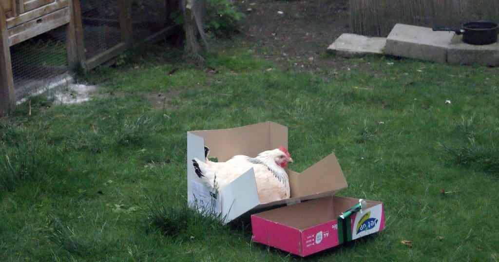 nouvelle poule 1024x538 - Intégrer une nouvelle poule dans le poulailler