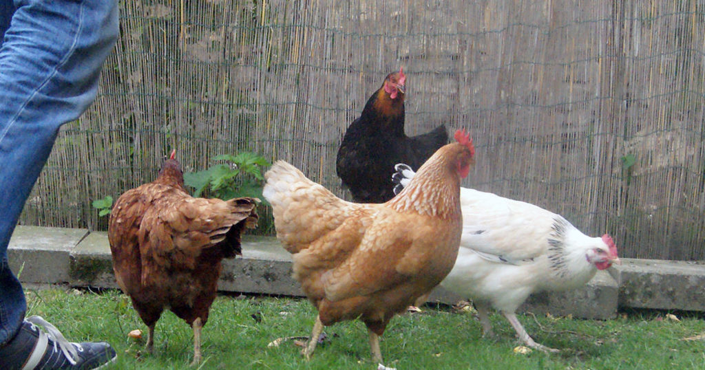 nouvelle soumise 1024x538 - Intégrer une nouvelle poule dans le poulailler