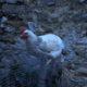 nuit dehors 80x80 - Intégrer une nouvelle poule dans le poulailler