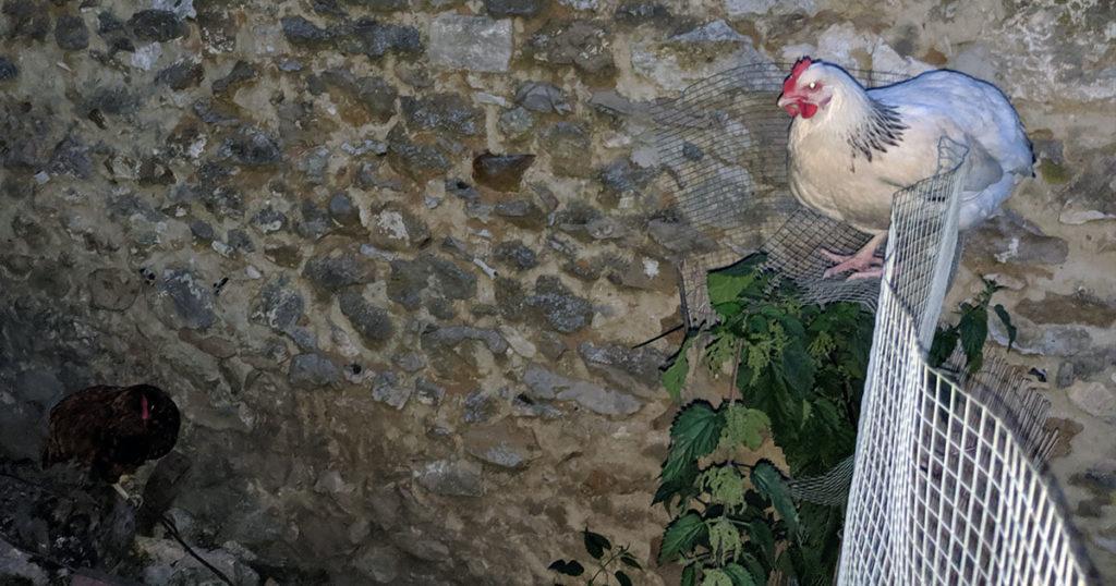 poule - Sauvagine