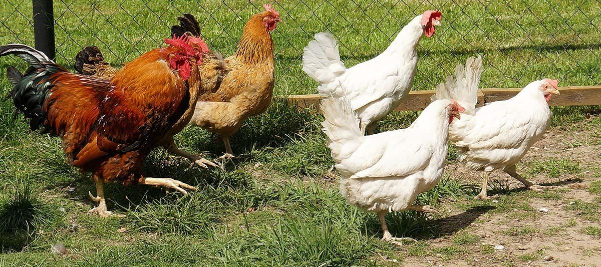 5 poules 1200x533 - Avoir 5 poules : le guide