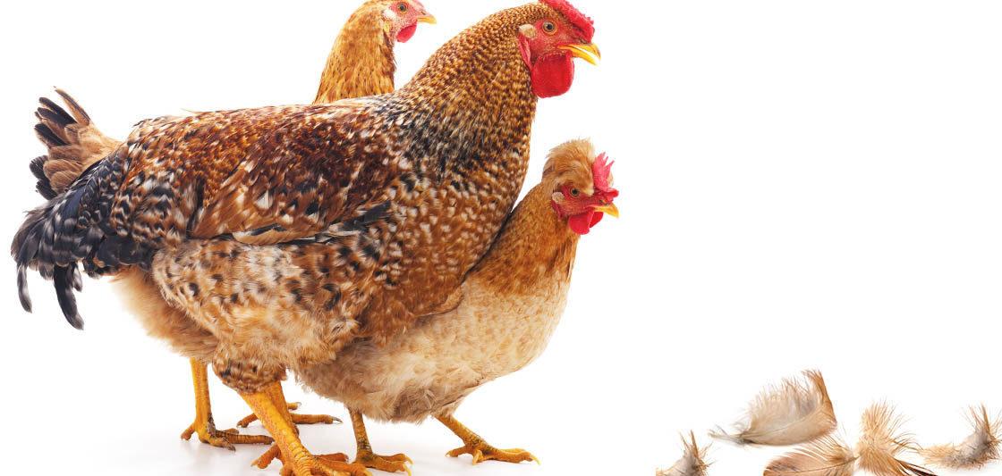 cropped plume perte poule 1120x533 - Mes poules perdent leurs plumes, pourquoi ?