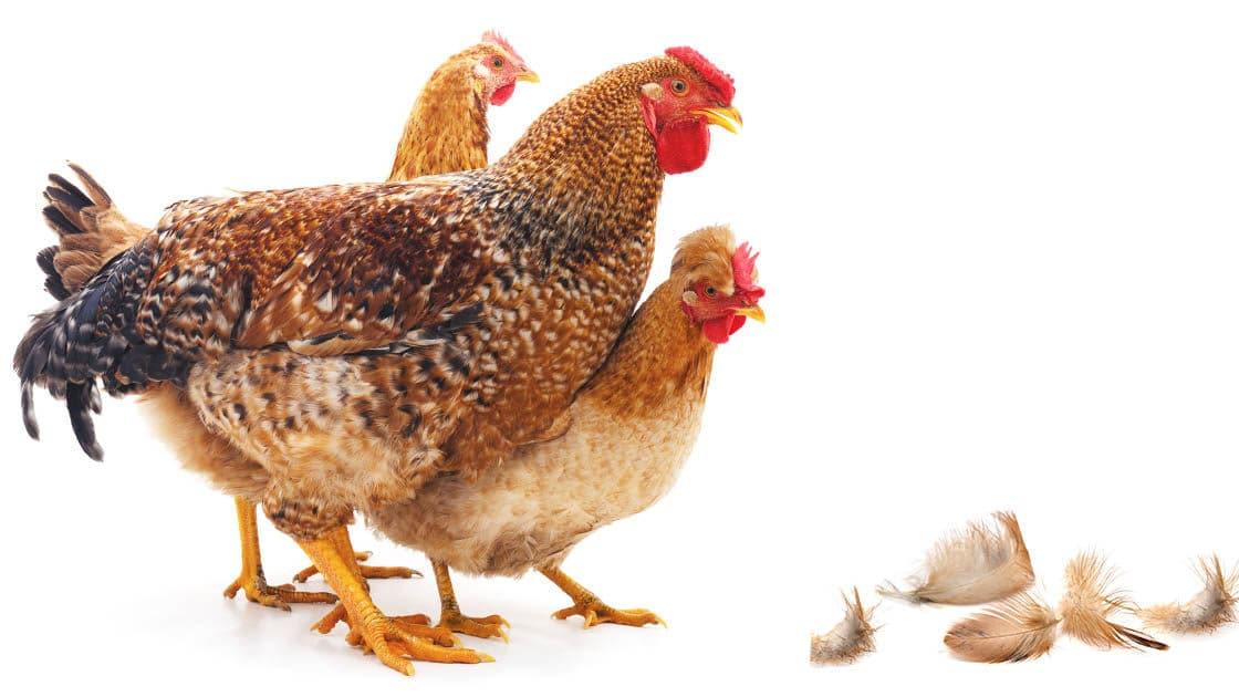 cropped plume perte poule - Mes poules perdent leurs plumes, pourquoi ?