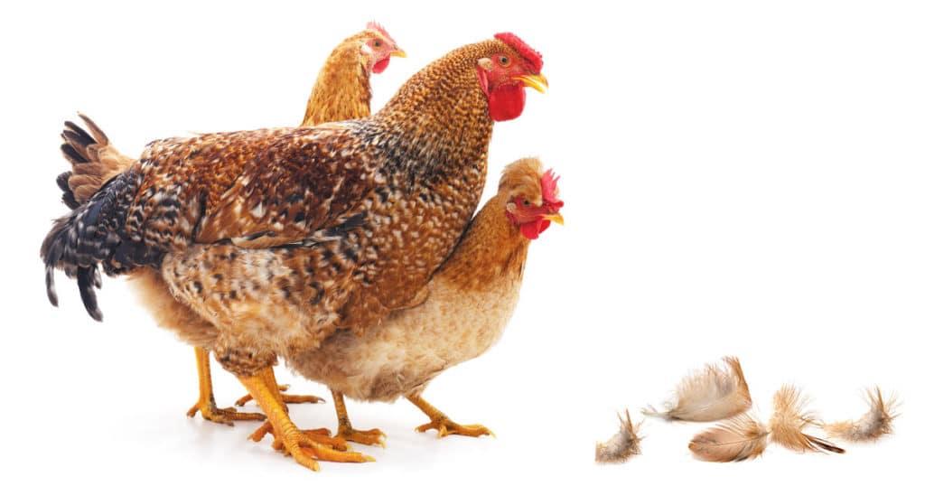 plume perte poule 1024x538 - La mue des poules
