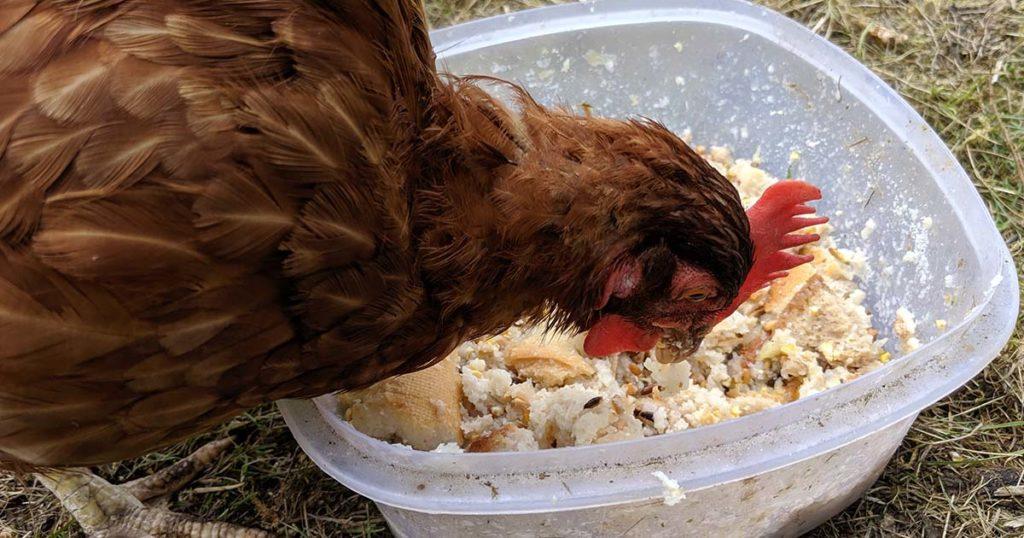 41Ift7wQCZL. SL160  - Vermifuger les poules