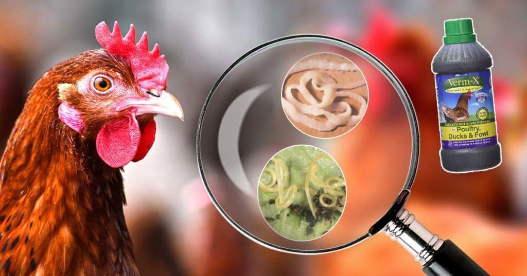 vermifuger poule 1024x538 - Vermifuger les poules