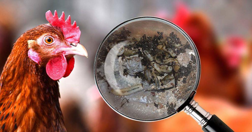 vers excrements 1024x538 - Vermifuger les poules