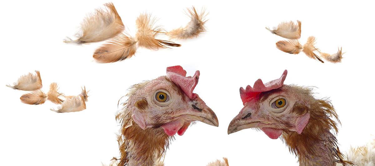 mue poule 1200x533 - La mue des poules