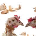 mue poule 120x120 - La mue des poules
