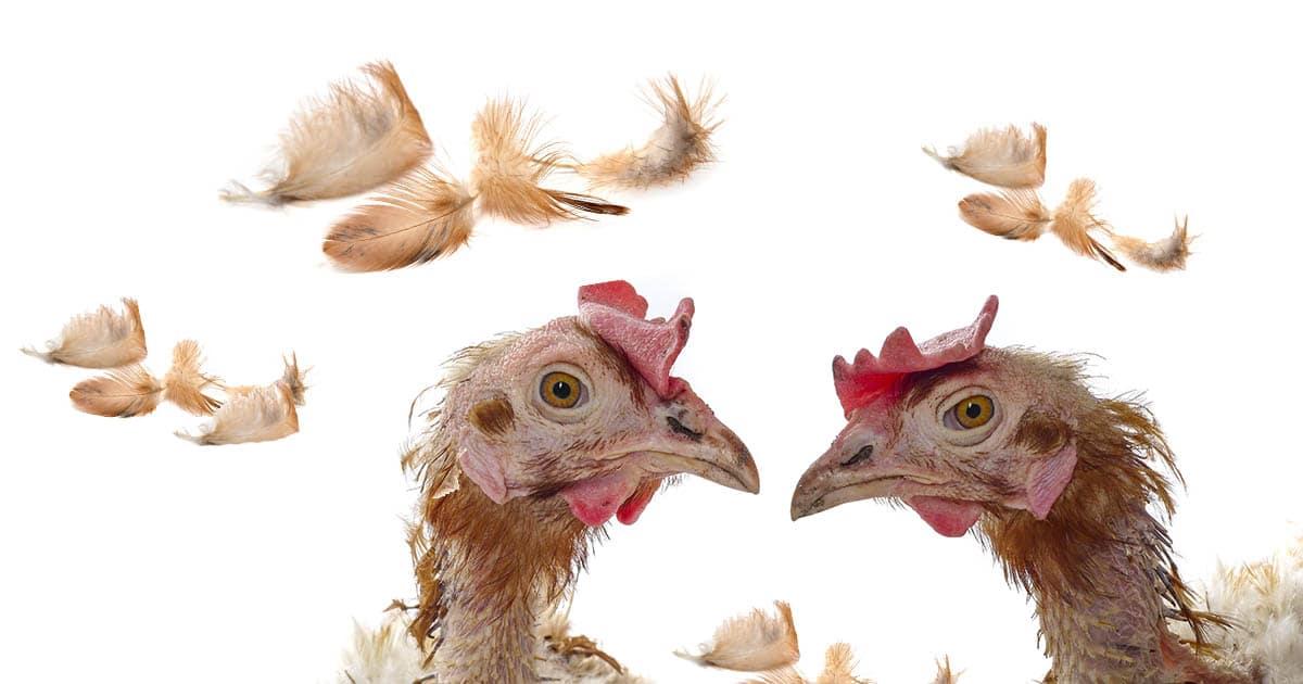 La mue des poules