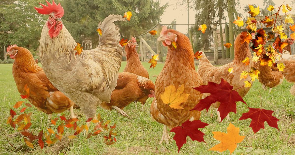 poulailler automne - Mes poules perdent leurs plumes, pourquoi ?