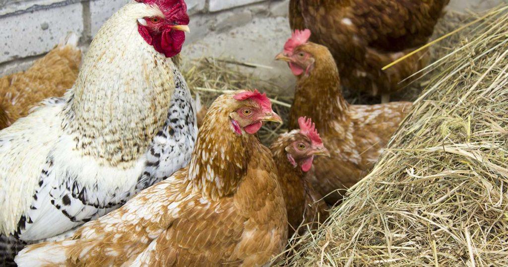 poules dans la paille