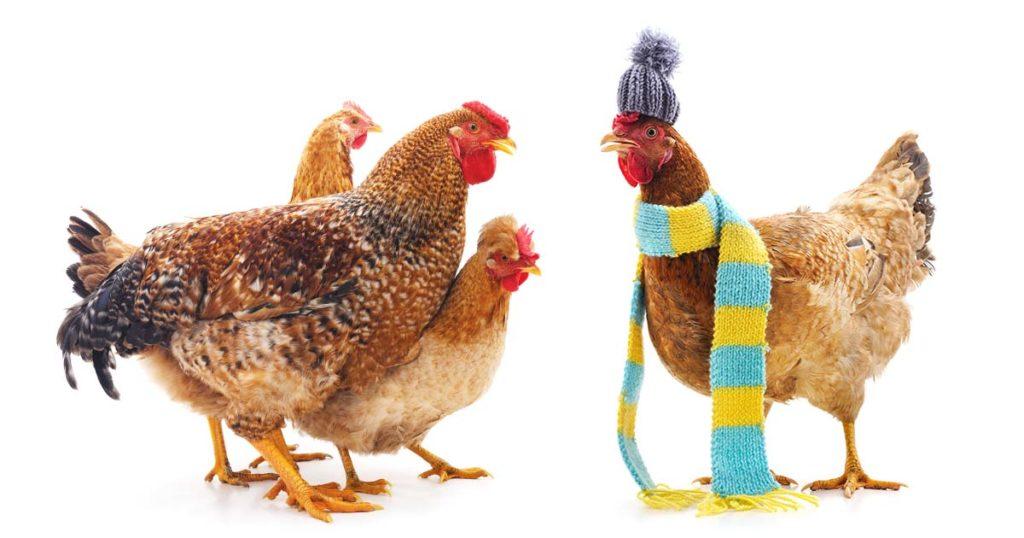 les poules en hiver
