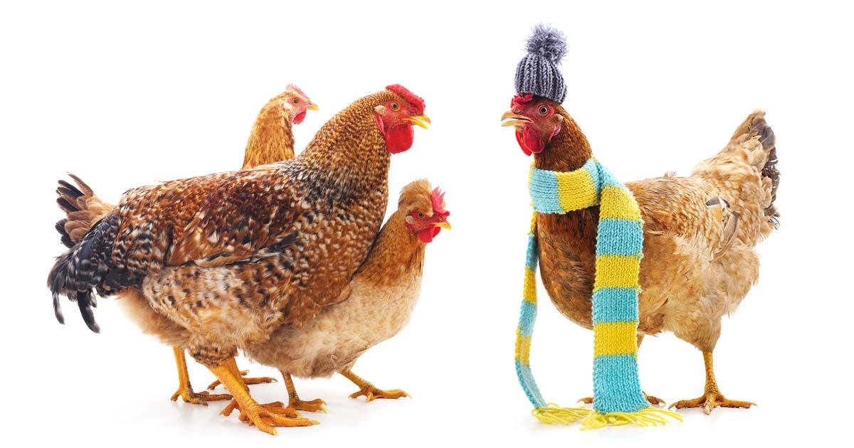 poule hiver - Comment protéger ses poules en plein hiver ?