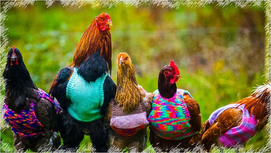 pull pour les poules