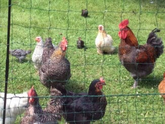 enclos poules 326x245 - L'enclos des poules