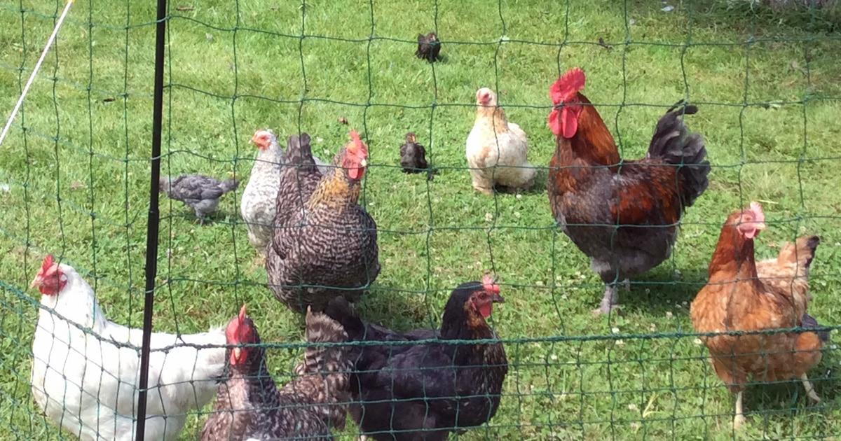 L'enclos des poules