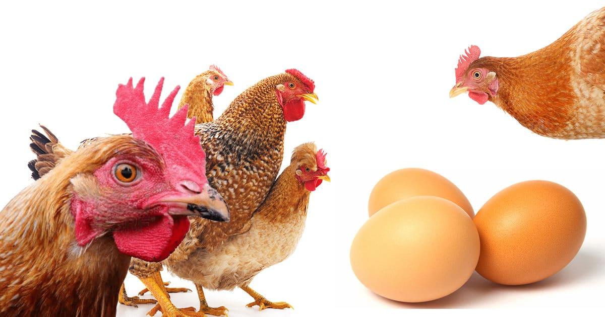 les meilleures poules pondeuses sont les poules rousses