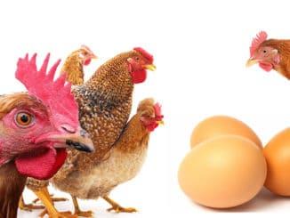 meilleure poule pondeuse 326x245 - Poules pondeuses : les meilleures