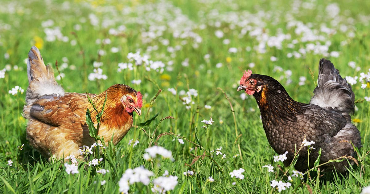 poules en plein air