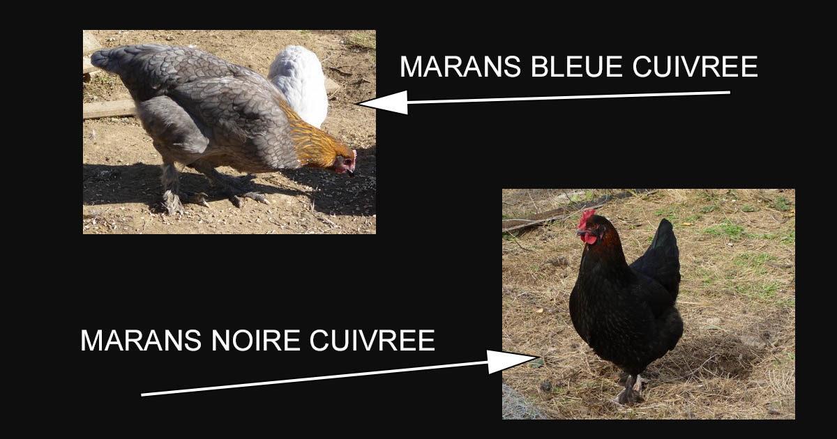 Marans - Sauvagine