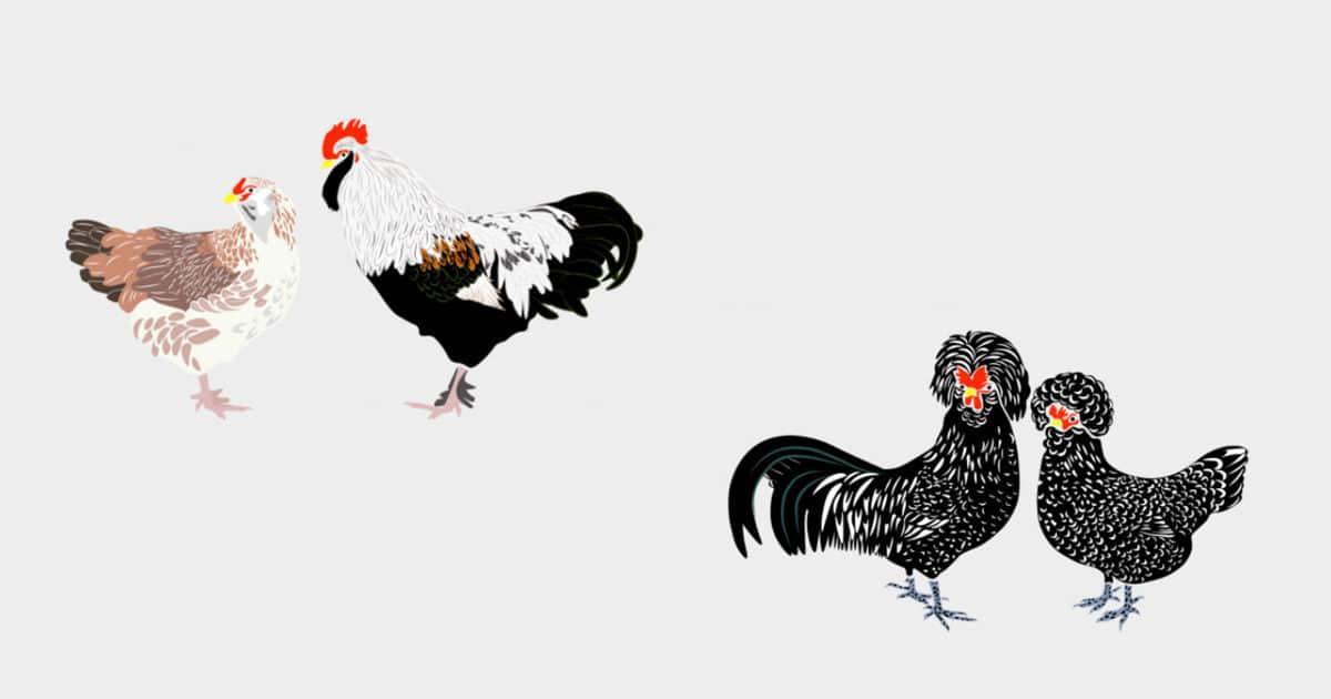 les 6 poules de race