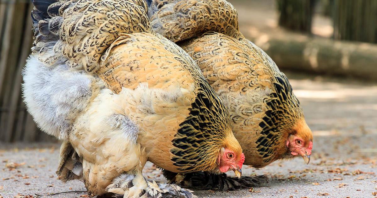 poules brahma
