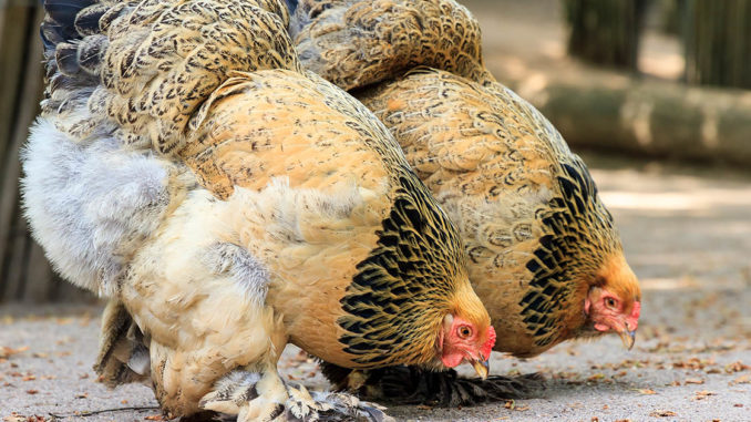 poule brahma