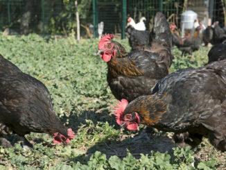 poule de marans 326x245 - La poule de Marans