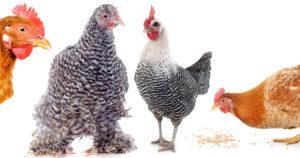 soins pour les poules