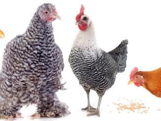 race de poule 326x245 - Les races de poules : pour y voir plus clair !