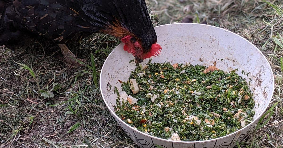 poule et ortie