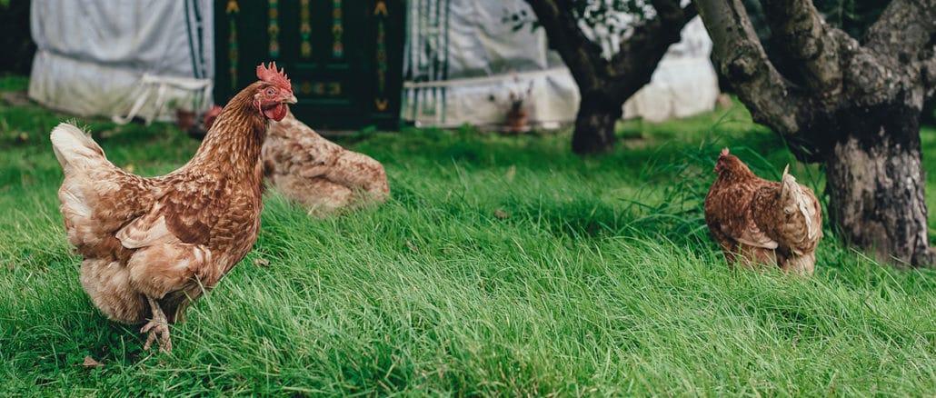 poule pied arbre