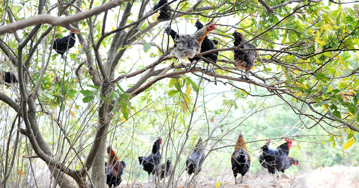 poule dans arbre