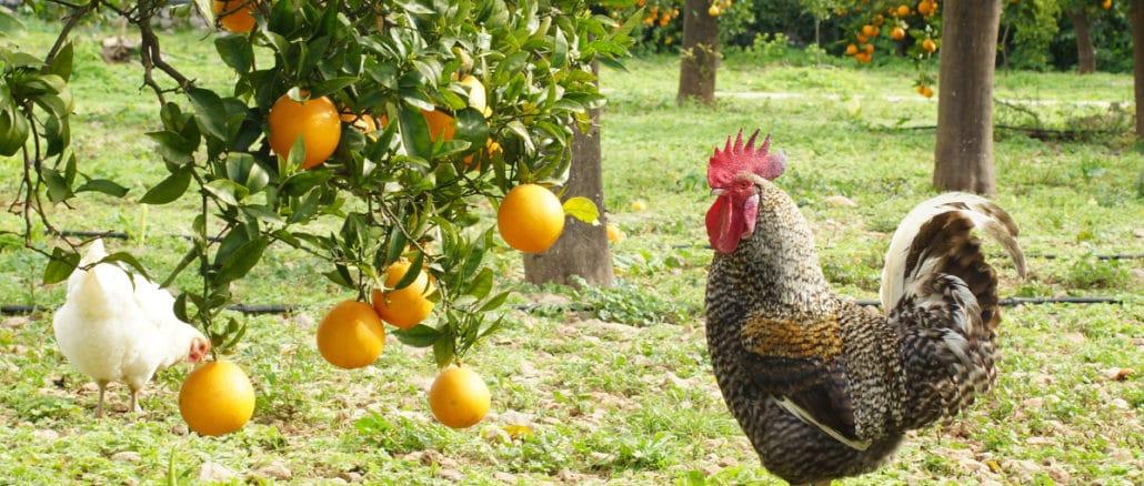 poule fruitier
