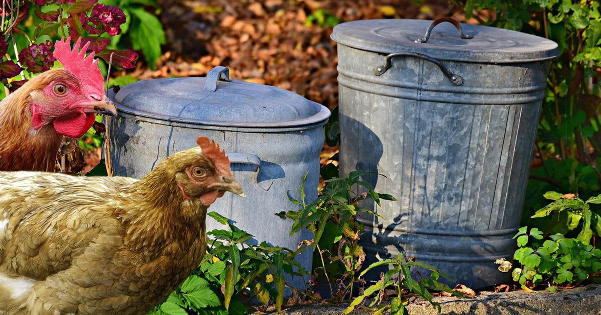 la poule contribue à réduire les poubelles
