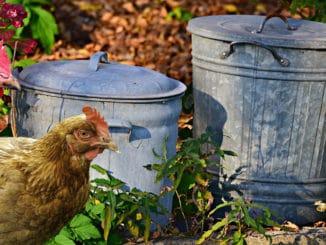 poule poubelle