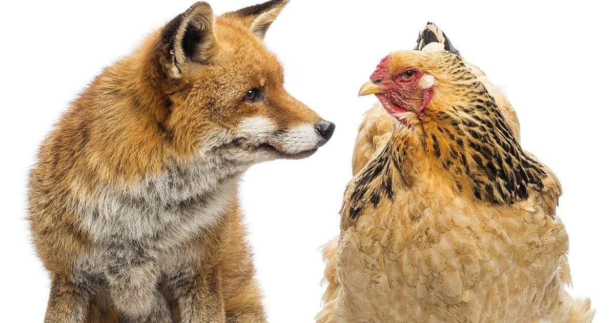 la poule brahma versus renard !