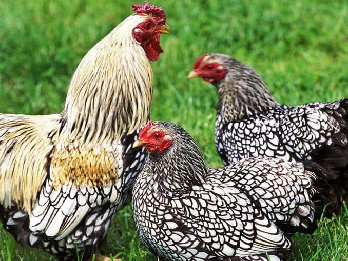 coq poule wyandotte
