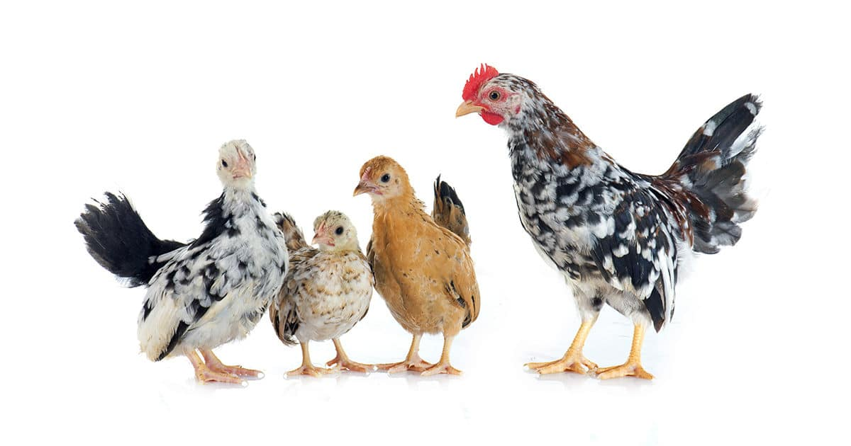 les poules et jeunes serama