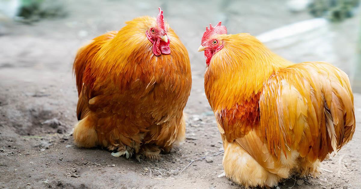 2 poules cochin
